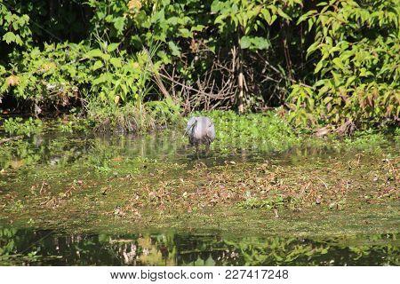 Surprising Great Blue Heron Stalking, Tracking, Hunting, And Fishing On Lake In Sliver Lakes Communi