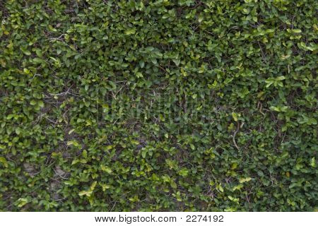 Privacy Wall Covered In Lush Leafy Vines
