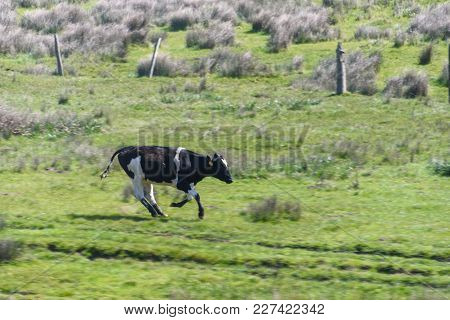 A Cow Is Running In A Grass Field With All Four Hooves Off The Ground