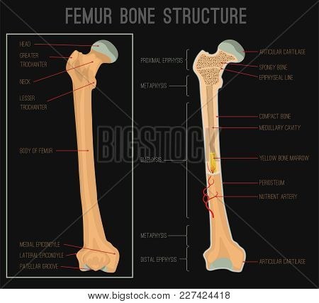 Femur Bone Structure. Human Health Concept Useful For Medical, Anatomy And Biology Educational Poste