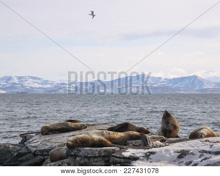 Winter Landscape With Rookery Of Northern Sea Lion Or Steller Sea Lion (eumetopias Jubatus). Avacha