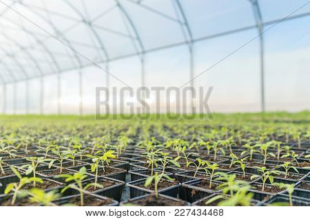 Young Plants Growing In A Greenhouse. Greenhouse Seedlings. Business