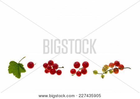 Ripe And Unripe Redcurrant Berries Isolated On White Background With Copy Space
