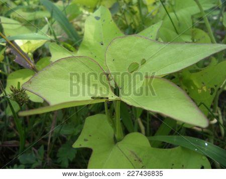 Green Sweet Potato Leaves, Perforated Caterpillar Inert