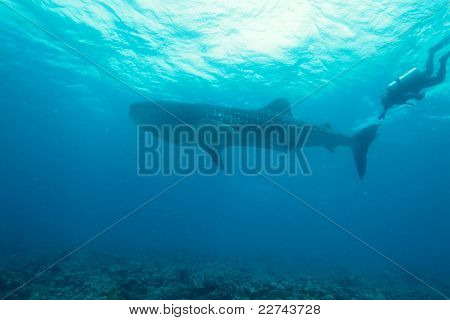 Diver catches whale shark tale, Indian ocean underwater