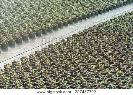 Rows Of Potted Seedlings In Greenhouse Seedlings In Greenhouse