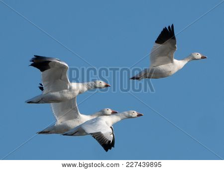 Snow Geese Flying Across Blue Sky On Migration North.