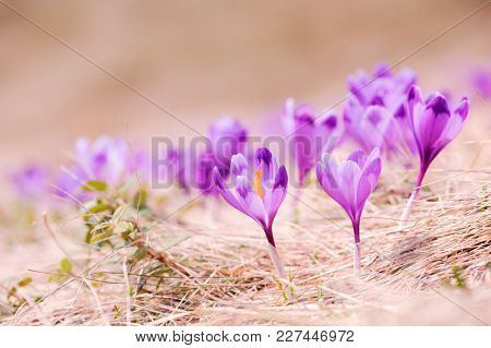 Group of crocus flower in grass on spring meadow closeup