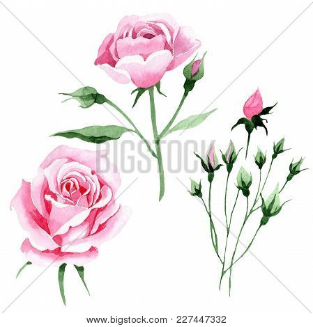 Wildflower Pink Tea Rosa Flower In A Watercolor Style Isolated. Full Name Of The Plant: Rosa, Rose,