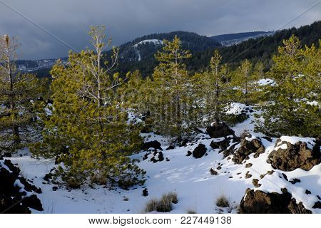 pine trees on volcanic rock covered by snow in winter Etna Park, Sicily