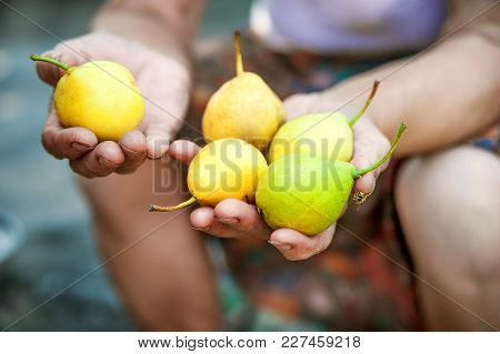 Grandma Is Holding Juicy Ripe Pears. Yellow Pears In Elderly Wrinkled Hands. Horticulture And Pears