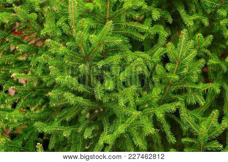 Background Of Young Green Coniferous Branches. Evergreen Coniferous Forest. Natural Background.
