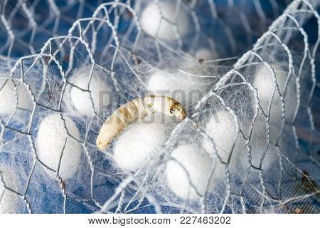 White Silk Cocoon With Silk Worm In Farm