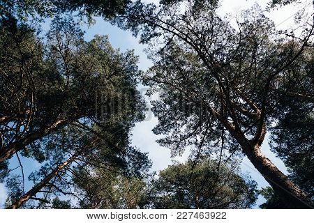 Pine Trees In The Forest Low Angle View.