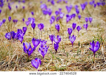 Beautiful Blooming Crocuses. Note: This Photo Has A Very Shallow Depth Of Field