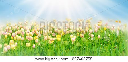 White And Yellow Beautiful Tulips Field In Spring Time With Sun Rays And Bokeh. Beautiful Spring Flo