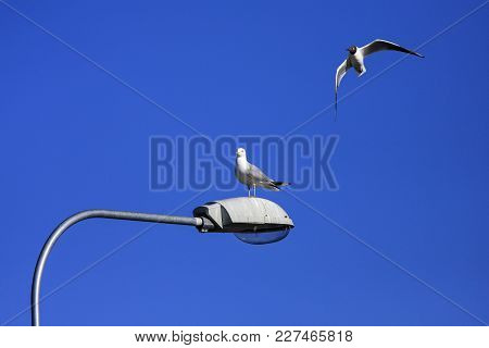A Seagull On A Lamp. Gull In The Air. Sunshine And Blue Sky.