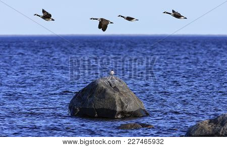 A Group Of Canada Geese In Migration. The Sea, A Rock And A Clear Blue Sky.