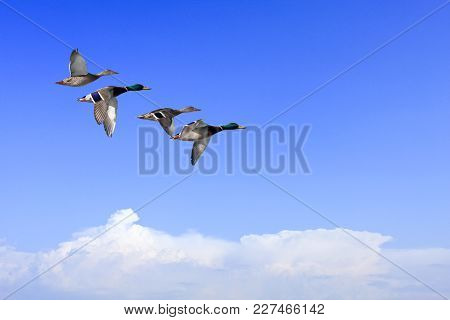 A Flock Of Wild Duck, Mallards In In Migration. Clouds At The Horizon.