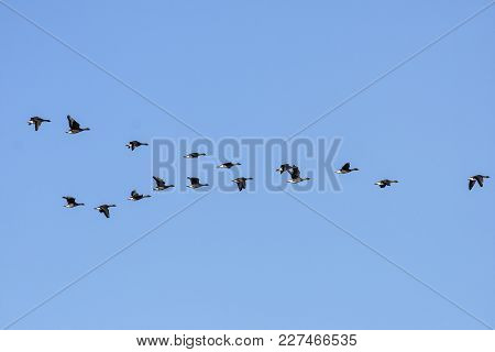 A Group, Flock Of Bean Geese In Migration. Blue Sky In April.