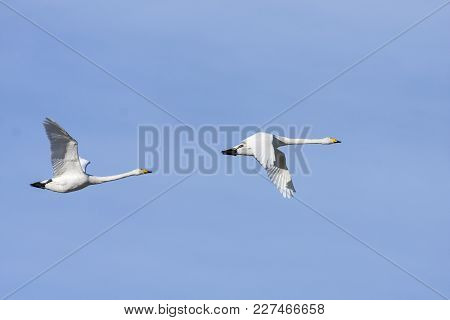 A Couple Of Whooper Swan In Migration. A Clear Blue Sky, Morning.