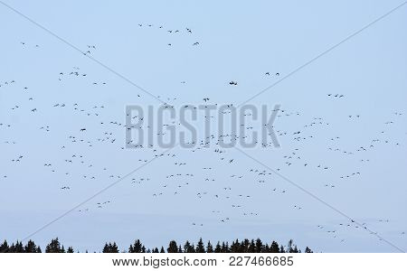 Wild Duck, Mallards In Migration. Forest In The Background. Long Distance.