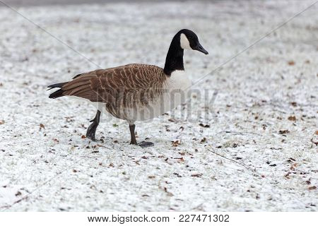 Canada Goose (branta Canadensis) On A Snowy Meadow.
