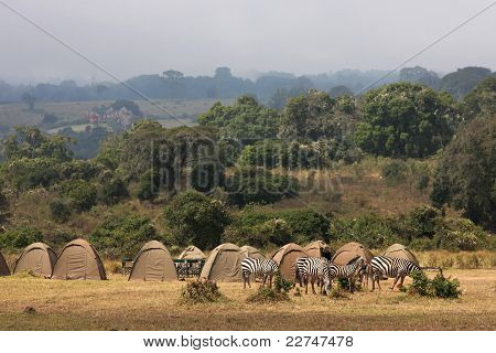 Zebras are grazing in the camping of Ngorongoro Crater poster
