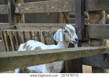 Nubian Goat With Hanging Long Ears Is Standing In A Wooden Box