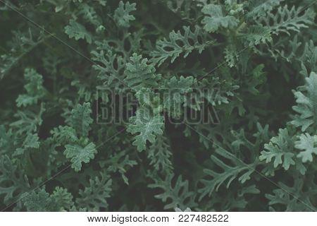 Small Green Bush In Dark Tones; Dark Green Leaves Background;