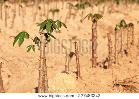 Young Cassava Cultivation Plant In Farmland, Thailand.