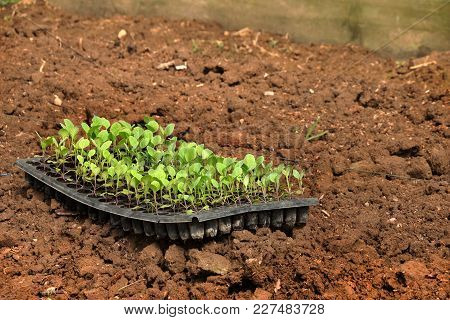 Growing Young Kale In Vegetable Plot, Organic Vegetable In Farm