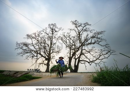 Vinh Phuc, Vietnam - Mar 22, 2017: Blooming Bombax Ceiba Tree And Woman Walking On Road In Lap Thach