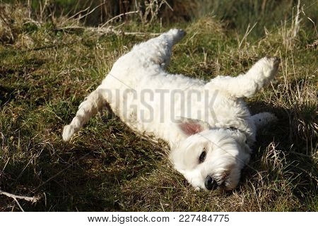 West Highland Terrier Having Fun Rolling On Its Side In Animal Excrement In Field In The Countryside