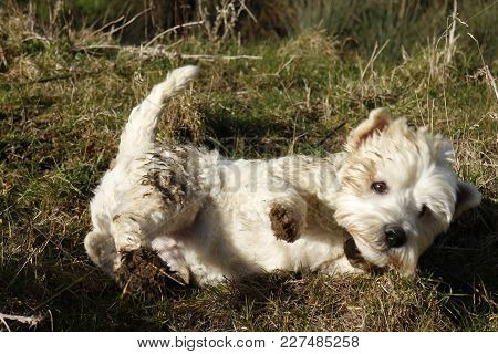 West Highland Terrier Having Fun Rolling In Animal Excrement In Field In The Countryside.