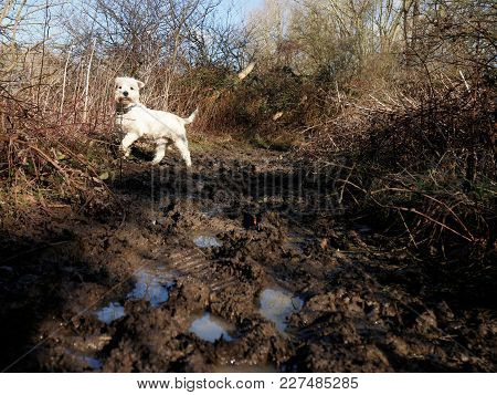 West Highland Terrier Having Fun Walking On Muddy Path In The Countryside.