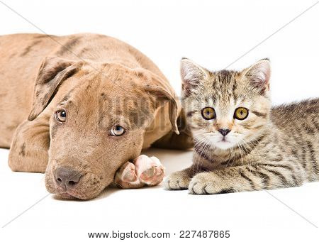 Portrait Of A Pit Bull Puppy And Kitten Scottish Straight, Lying Together, Closeup, Isolated On Whit