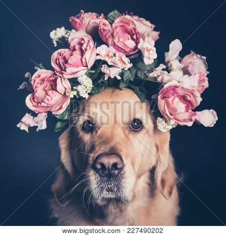 Golden Retriever Dog In A Flower Crown, Looking At The Camera, Square Format