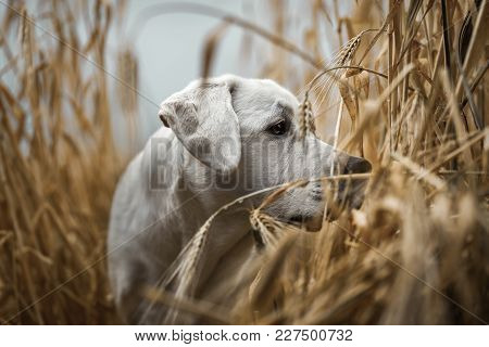 Happy Cute Little Labrador Retriever Dog Puppy Standing In A Yellow Golden Field Outdoors In Nature