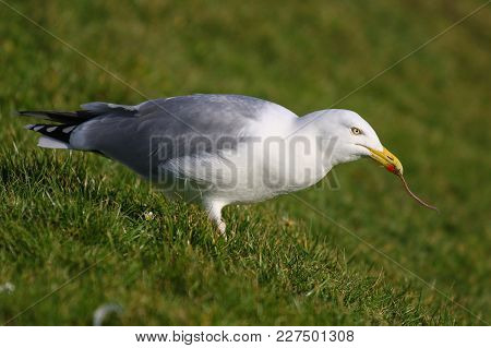 A Herring Gull Pulling Earthworms From The Ground With Its Beak