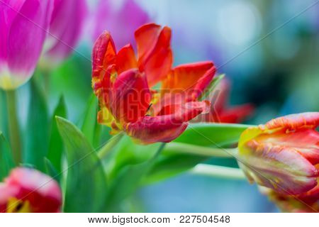 Red Tulips, Fading Tulips With Shallow Depth Of Field