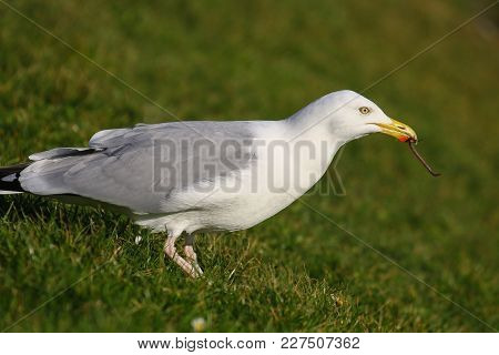 A Herring Gull Pulling Earthworms Out Of The Ground