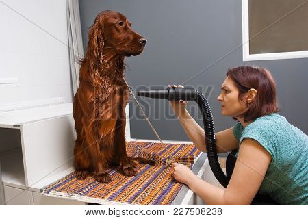 Groomer Drying Hair Of Dog Setter With Hair Dryer At Salon