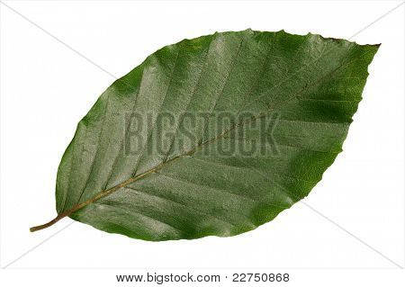 beechen leaves closeup isolated