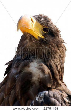 steller's sea eagle isolated
