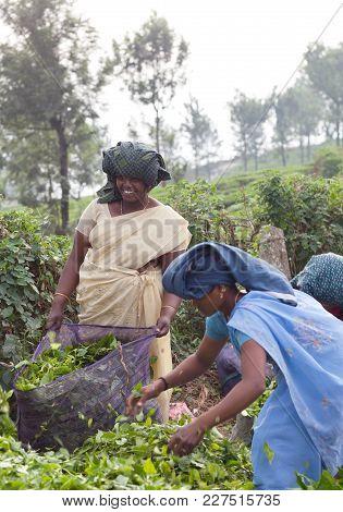 Munnar, India - January 18, 2016: Female Tea Pickers Working In Tea Plantation In Munnar, Kerala, So