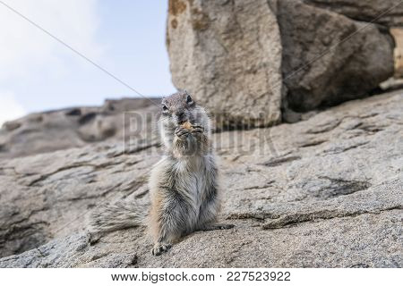 Close-up Shot Of Barbary Ground Squirrel Sitting On Rock While Holding Food In Paws And Looking At C