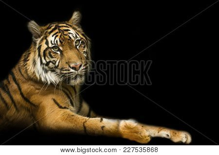 Tiger With Black Backround. Poster Tiger With Extreme, Special Close Up.