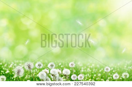 Spring nature background with  flowers. Spring floral landscape with green grass and dandelions