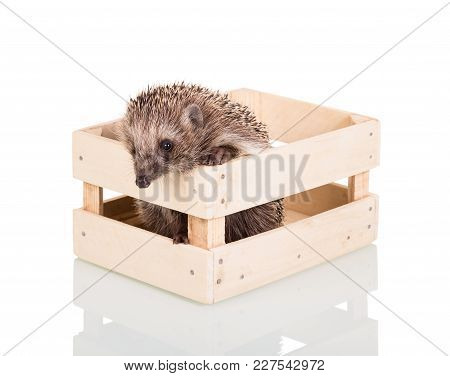 Funny Gray Hedgehog Trying To Get Out Of Wooden Box, Isolated On White Background